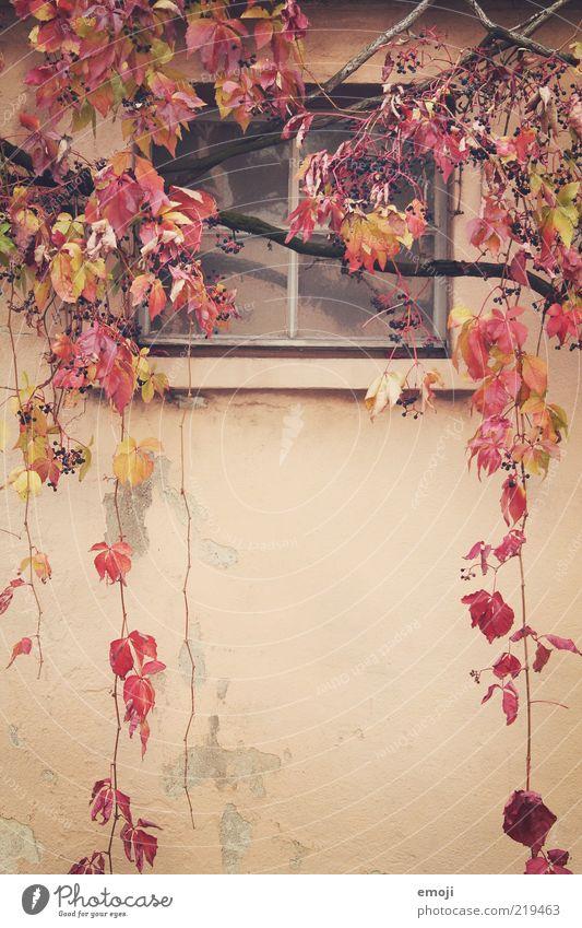 weinrot alt Pflanze Blatt Herbst Wand Fenster Mauer Fassade Ast frontal Ranke hängend Adjektive herbstlich Herbstfärbung