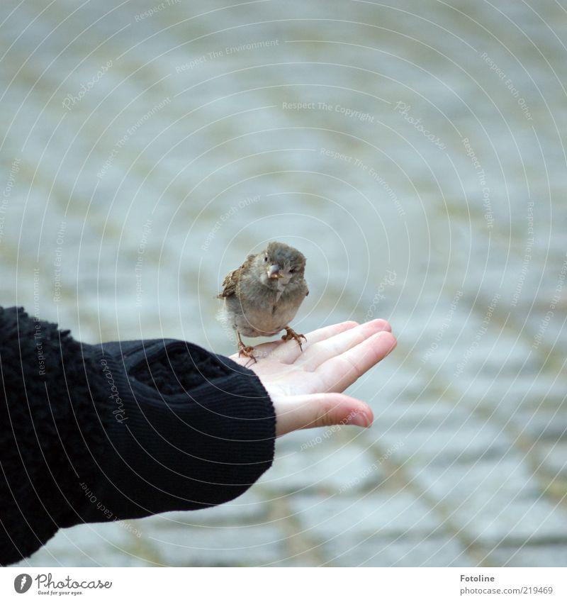 Noch n Piepmatz Mensch Kind Haut Arme Hand Finger Natur Tier Wildtier Vogel Krallen frech frei klein natürlich füttern Spatz Schnabel Fressen Krümel Farbfoto