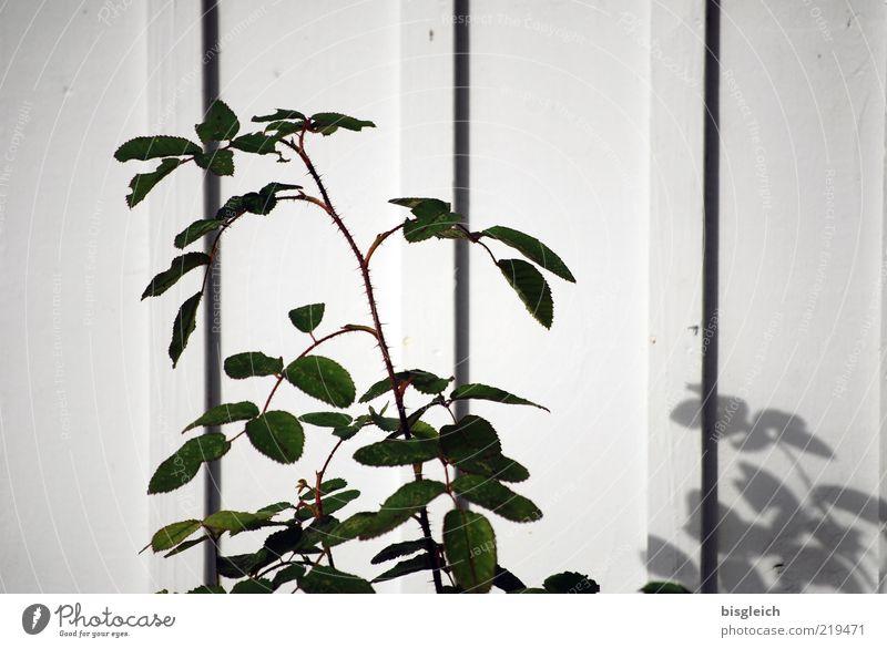 Das Ende der Saison VIII Pflanze Blatt Grünpflanze Wand Holz grün weiß ruhig Vergänglichkeit Saisonende Schatten Farbfoto Gedeckte Farben Außenaufnahme Tag
