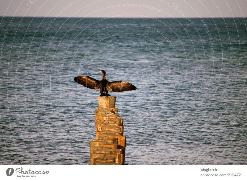 Breit aus die Flügel beide ... Ostsee Meer Vogel Kormoran 1 Tier Holz sitzen blau braun Buhne Horizont Farbfoto Gedeckte Farben Außenaufnahme Textfreiraum oben