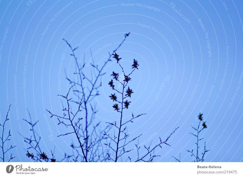 Sternchensaison Natur blau Pflanze Blatt Herbst Blüte ästhetisch Sträucher Schönes Wetter Zweig zerbrechlich Blauer Himmel filigran himmelblau Wolkenloser Himmel Klarer Himmel