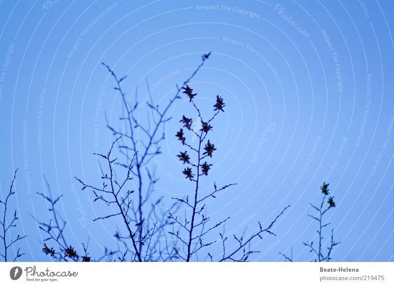 Sternchensaison Natur Pflanze Wolkenloser Himmel Herbst Schönes Wetter Sträucher Blatt Blüte ästhetisch blau Farbfoto Textfreiraum oben Textfreiraum rechts