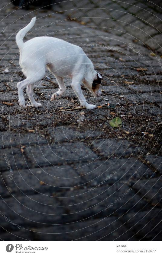 Spürhund Straße Wege & Pfade Tier Haustier Hund Fell Jack-Russell-Terrier 1 Stein dunkel weiß Suche Geruch Schwanz aufspüren Farbfoto Außenaufnahme