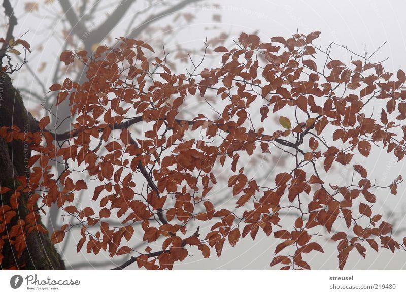 Nebelwald Natur Baum Pflanze ruhig Blatt Herbst Holz Stimmung braun hell Wetter Umwelt Wachstum trist Ast