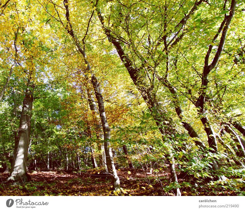Buchenwald Umwelt Baum Park Wald braun gelb gold grün Herbst Herbstlaub Herbstfärbung Herbstwald Blätterdach Farbfoto Außenaufnahme Menschenleer Weitwinkel
