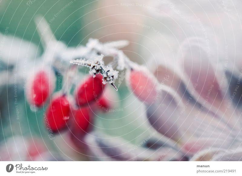 Morgenfrost Natur Herbst Winter Eis Frost Pflanze Sträucher Blatt Fruchtstand Beerensträucher Beerenfruchtstand Raureif herbstlich Herbstfärbung Eiskristall