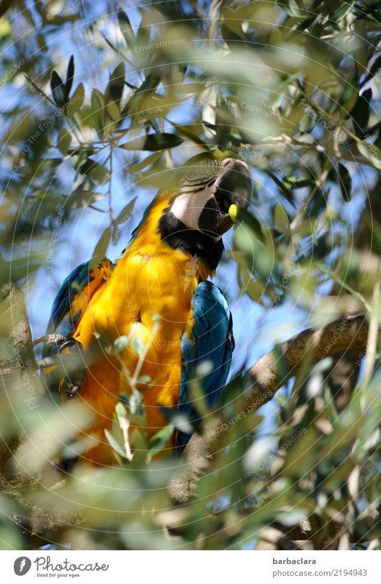 Olivenernte Natur blau Farbe grün Baum Blatt gelb Umwelt Gesundheit Gefühle Vogel frei sitzen genießen Klima exotisch