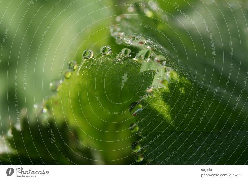 drops Umwelt Natur Pflanze Wasser Wassertropfen Blatt grün Guttation Farbfoto Außenaufnahme Nahaufnahme Detailaufnahme Makroaufnahme Schwache Tiefenschärfe Tau