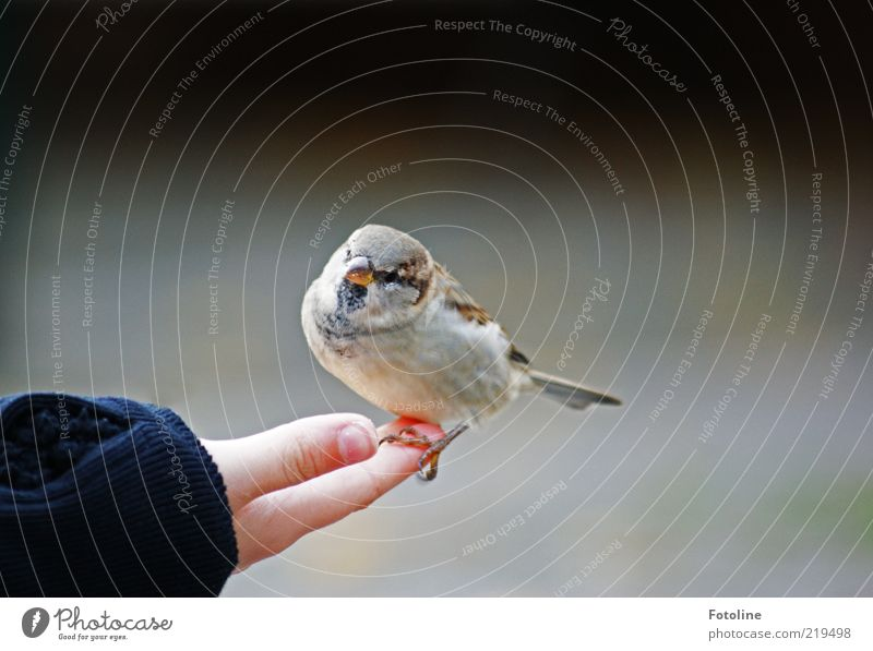 Dicker kleiner Kerl Mensch Kind Haut Arme Hand Finger Umwelt Natur Tier Wildtier Vogel Krallen 1 frech hell listig nah natürlich Neugier niedlich Spatz Schnabel