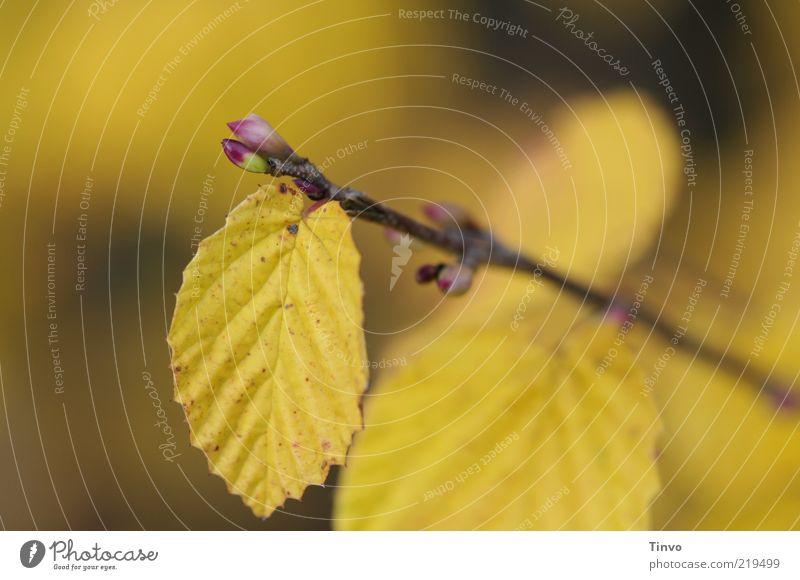 Jedem Ende wohnt ein Anfang inne. Natur Blatt gelb Herbst Wandel & Veränderung Vergänglichkeit Zweig Blattknospe Herbstlaub herbstlich Herbstfärbung Buchenblatt