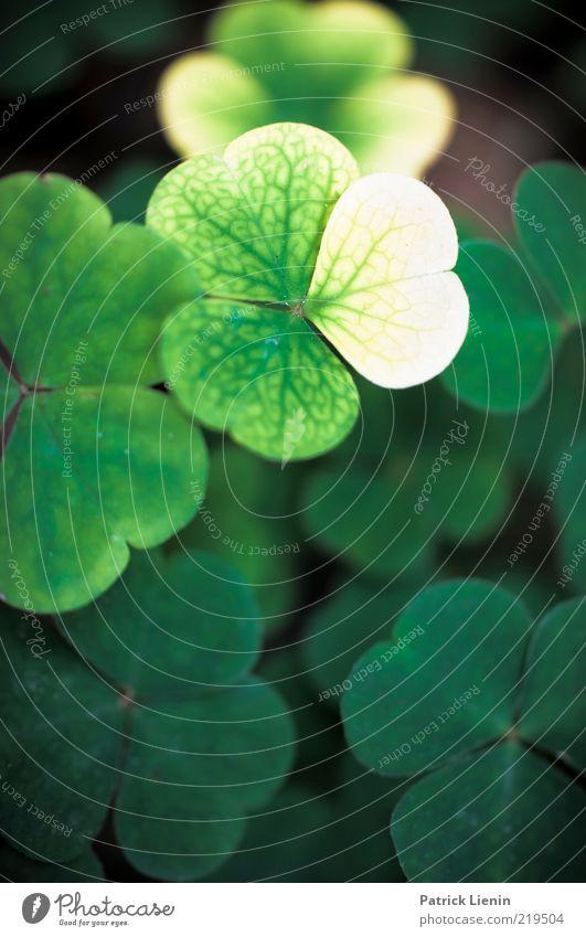 Sauerklee Umwelt Natur Pflanze Urelemente Blatt Grünpflanze Wildpflanze Wachstum ästhetisch hell schön Stimmung vergilbt Jahreszeiten Strukturen & Formen grün