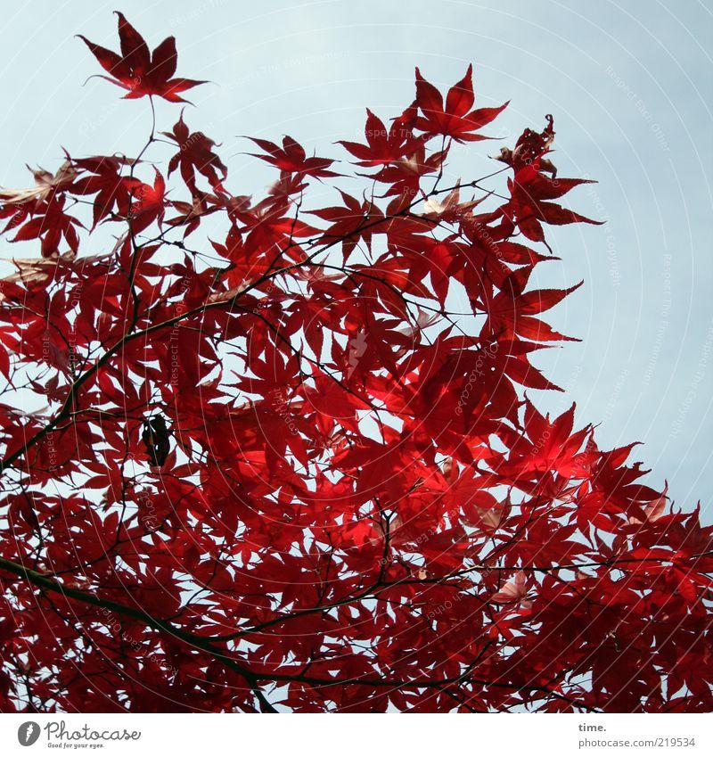 Herbstglut Natur Himmel Baum Pflanze rot Blatt Herbst Umwelt Wachstum authentisch Ast natürlich außergewöhnlich exotisch Zweig Ahorn