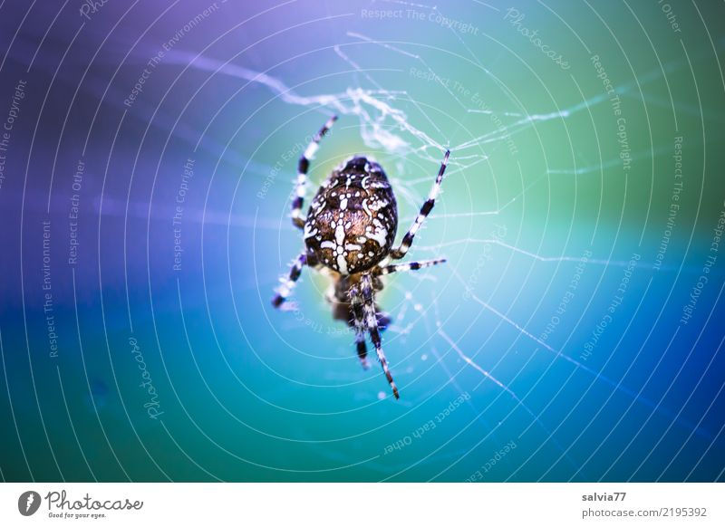 Doppeldeutigkeiten | Netzüberlastung Halloween Natur Tier Spinne Kreuz Kreuzspinne 1 hängen Jagd warten listig blau grau grün Mittelpunkt Netzsicherheit