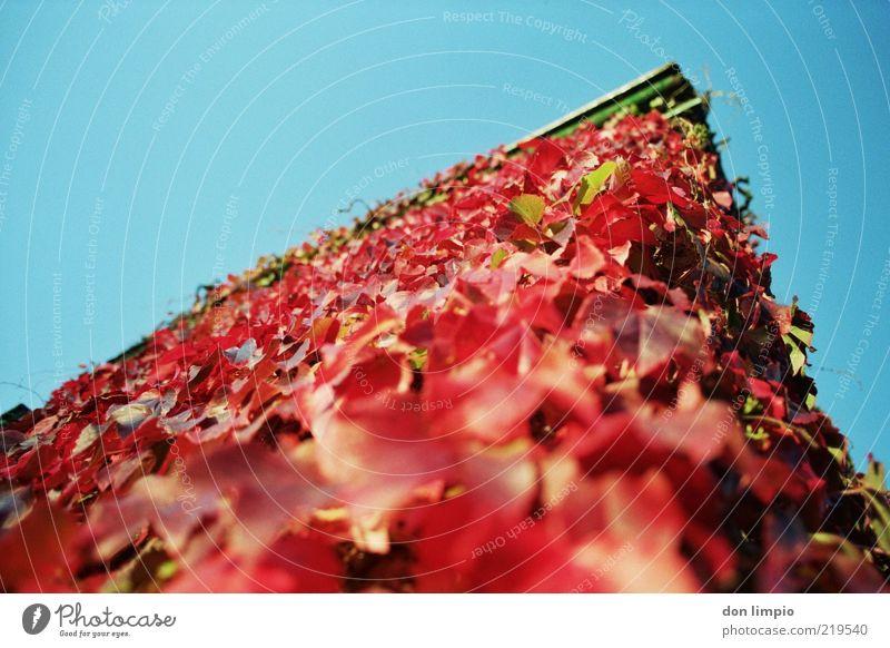 red corner Haus Herbst Schönes Wetter Efeu Mauer Wand Fassade wild blau rot bewachsen Farbfoto Außenaufnahme Menschenleer Tag Schwache Tiefenschärfe