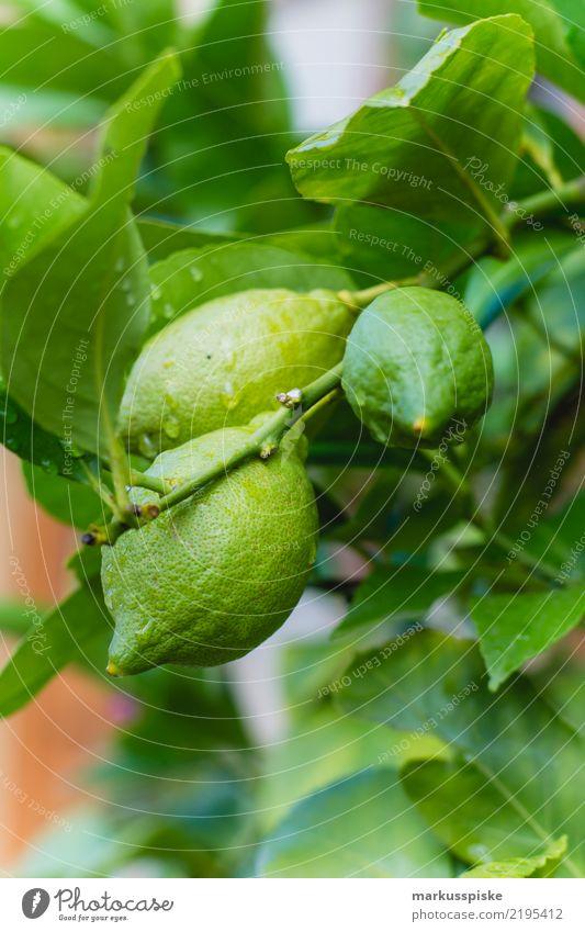 Zitronenbaum Pflanze Gesunde Ernährung grün Baum Essen Lifestyle Gesundheit Garten Lebensmittel Freizeit & Hobby Frucht Wachstum Fitness Bioprodukte Duft