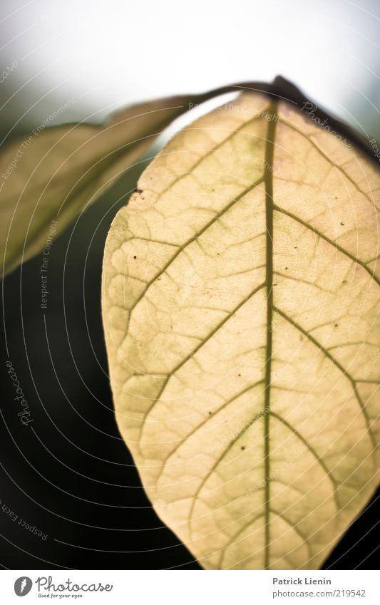 Lebensadern Umwelt Natur Pflanze Luft Herbst Blatt Grünpflanze alt authentisch schön Linie Strukturen & Formen Blattadern Blattgrün Muster hellgrün erleuchten