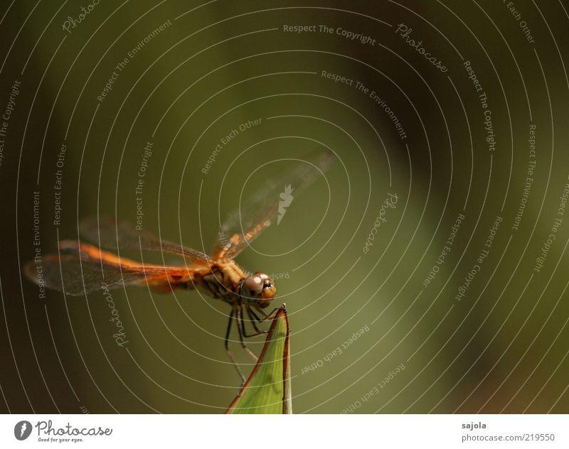 startbereit Natur Tier Wildtier Insekt Libelle 1 festhalten sitzen warten Farbfoto Außenaufnahme Nahaufnahme Makroaufnahme Textfreiraum rechts Textfreiraum oben