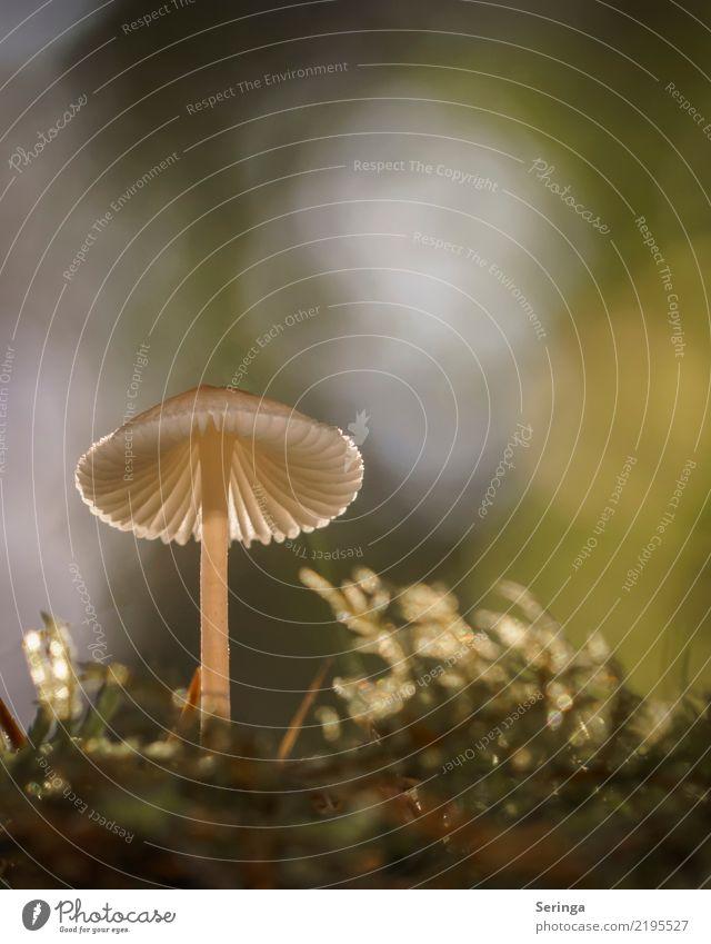 Laterne Natur Pflanze Tier Herbst Park Wald glänzend leuchten Wachstum ästhetisch schön nah natürlich Pilz Pilzhut Pilzsucher Pilzsuppe Giftpflanze Moos