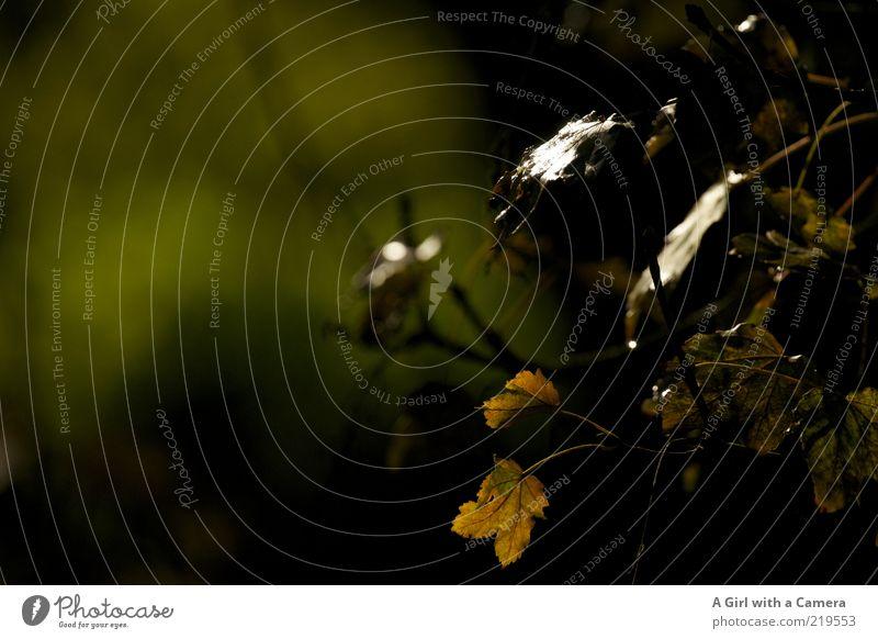 somehow dark Umwelt Natur Pflanze Herbst Sträucher Blatt mehrfarbig schwarz Vergänglichkeit dunkel Reflexion & Spiegelung Low Key Herbstlaub welk Zyklus Zweig