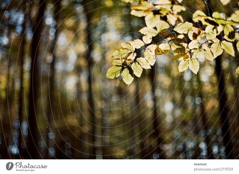 Buchenwald Natur Baum Blatt Wald Herbst Landschaft Wandel & Veränderung Vergänglichkeit natürlich Originalität Herbstlaub Zweige u. Äste Buche herbstlich durchscheinend Herbstfärbung