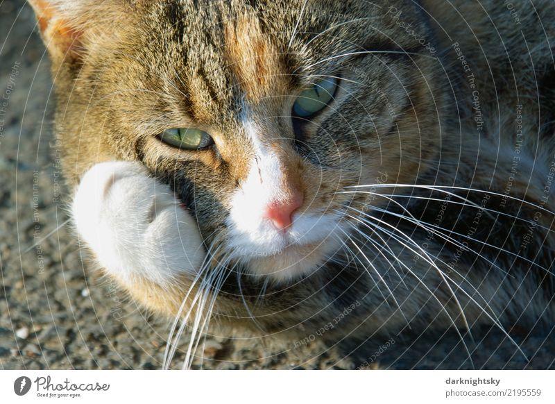 Portrait einer liegenden Katze mit Pfote Erholung Tier ruhig Gesicht Straße Zufriedenheit träumen elegant lernen berühren Reinigen Wohlgefühl harmonisch