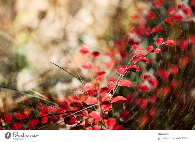 Herbstfärbung Natur Sträucher Blatt Herbstlaub herbstlich Herbstbeginn leuchten frisch hell natürlich Originalität schön Vergänglichkeit Wandel & Veränderung