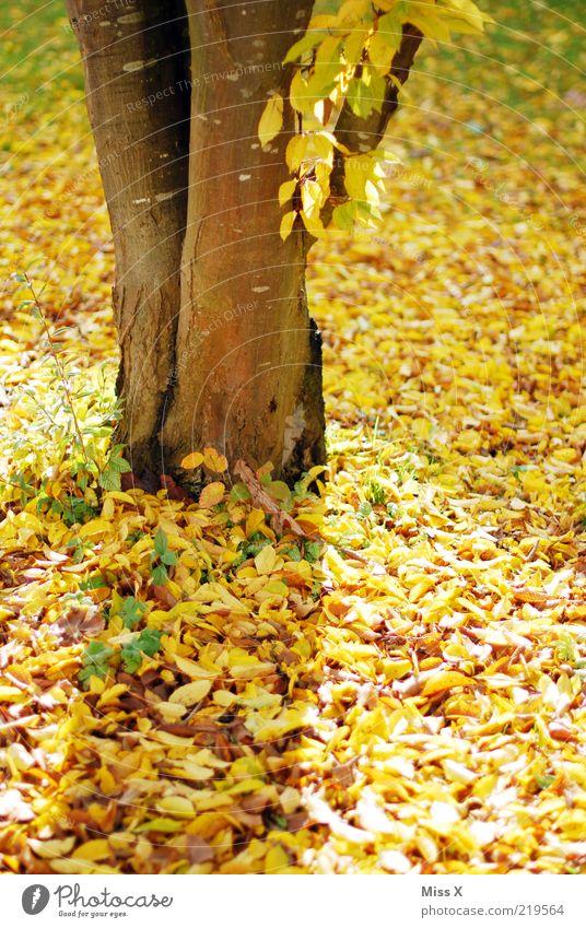 Gelber Herbst Baum Blatt gelb gold Baumstamm Anschnitt Bildausschnitt Herbstlaub Buche herbstlich Herbstfärbung Zyklus Indian Summer