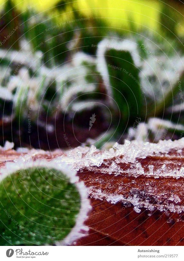REIF Umwelt Natur Pflanze Herbst Wetter Eis Frost Gras Blatt kalt braun gelb grün rot Makroaufnahme Eiskristall Bildausschnitt Anschnitt Detailaufnahme gefroren