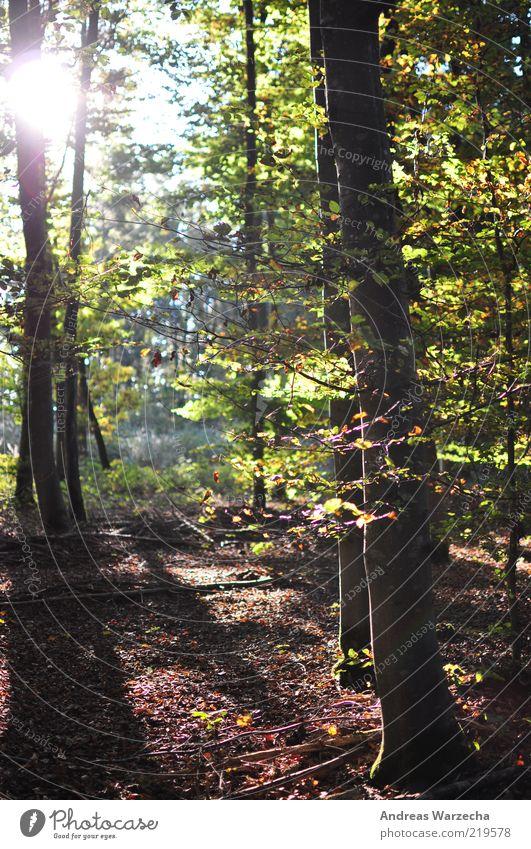 Wald Spaziergang Umwelt Natur Landschaft Pflanze Sonne Sonnenlicht Herbst Schönes Wetter Baum Blatt Wildpflanze Laubwald Laubbaum Holz frei hell mehrfarbig grün