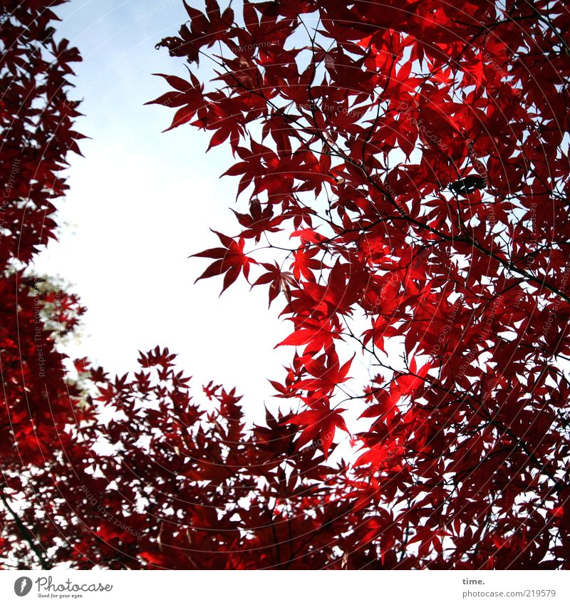 Herbstglühen schön Leben Umwelt Natur Pflanze Baum Blatt Wachstum außergewöhnlich rot Ahorn Farbfoto Außenaufnahme Menschenleer Tag Schatten Sonnenlicht