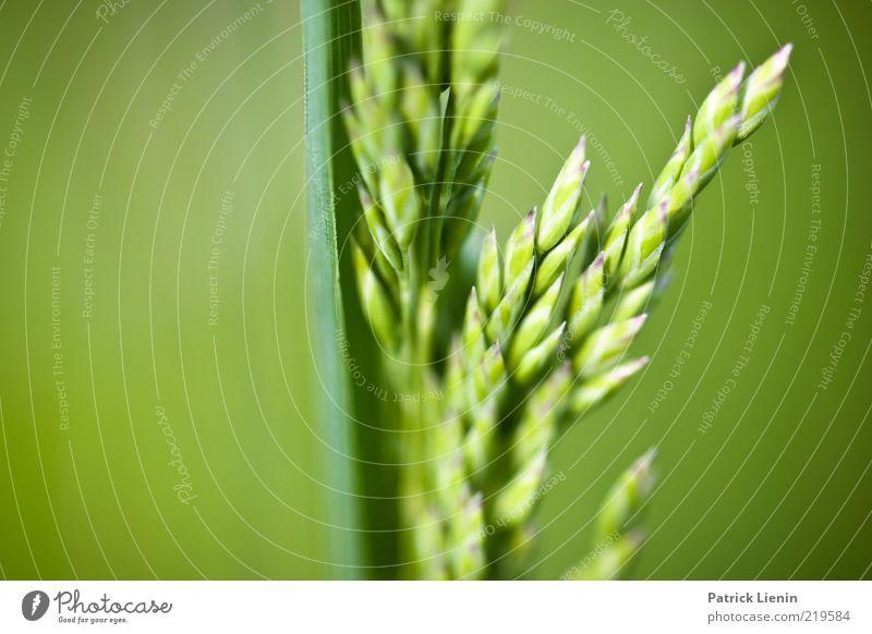 Wiesenrispengras Umwelt Natur Pflanze Frühling Gras Blatt Grünpflanze Wildpflanze frisch natürlich schön weich Stimmung grün Wachstum Stengel Ähren