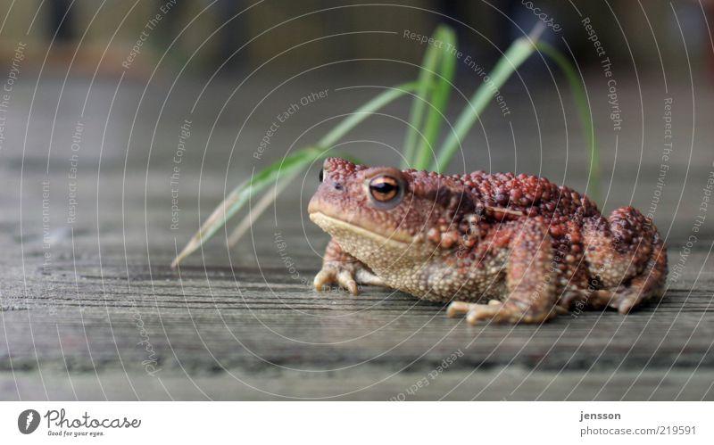 schmollende Kröte Natur Tier Gras warten Umwelt nass sitzen beobachten feucht Halm Frosch bequem Holzfußboden Trägheit Textfreiraum links Blick