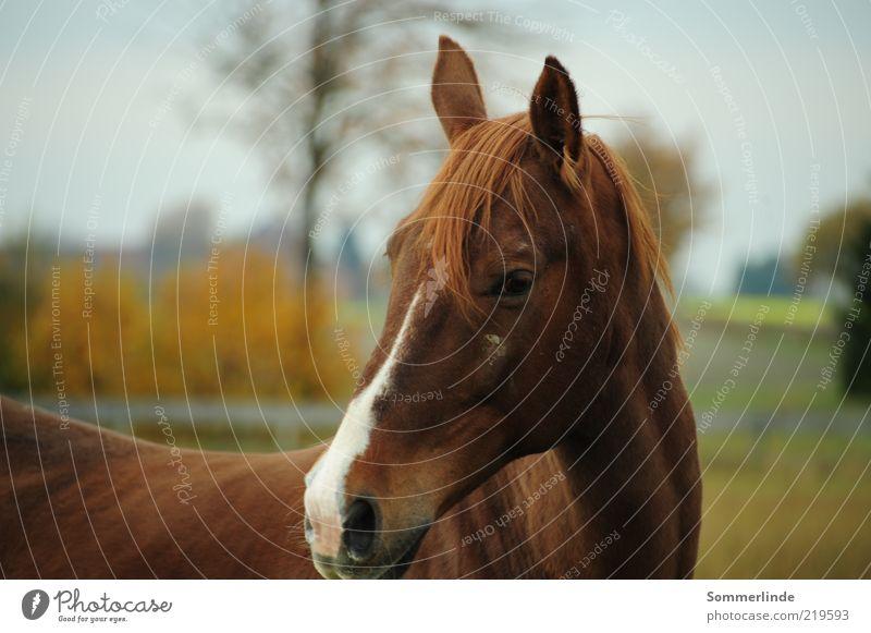 Misstrauisch Natur Landschaft Tier Himmel Baum Feld brünett langhaarig Haustier Pferd Fell 1 Weide hören Blick stehen elegant groß braun Schüchternheit