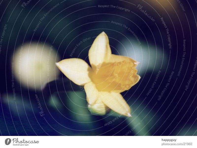 Osterglocke Natur Blume Pflanze Gelbe Narzisse