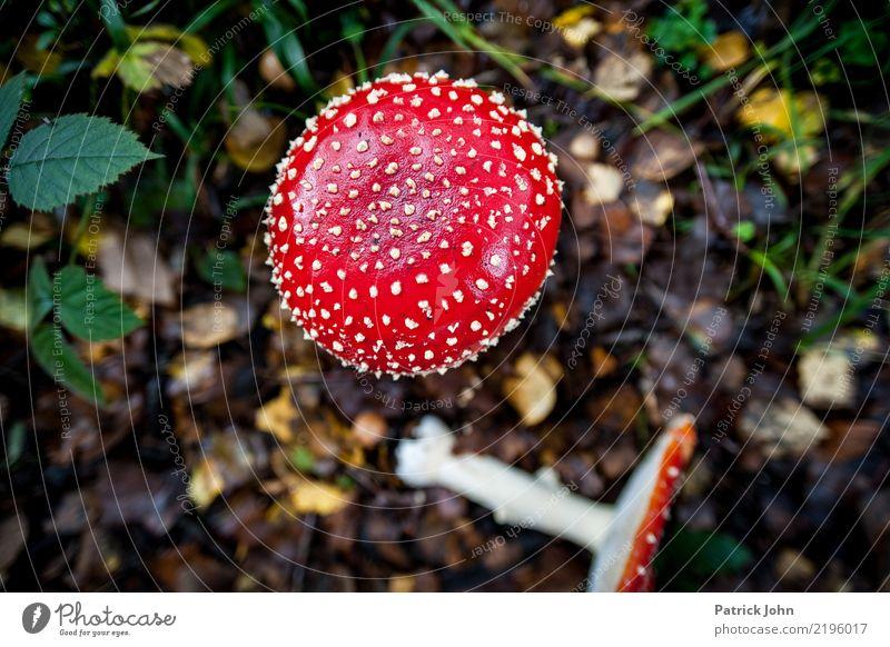 Fliegenpilz wandern Umwelt Natur Landschaft Pflanze Wildpflanze exotisch Wald Fernweh Waldboden Gift fatal schön rot Märchenwald Farbfoto Vogelperspektive