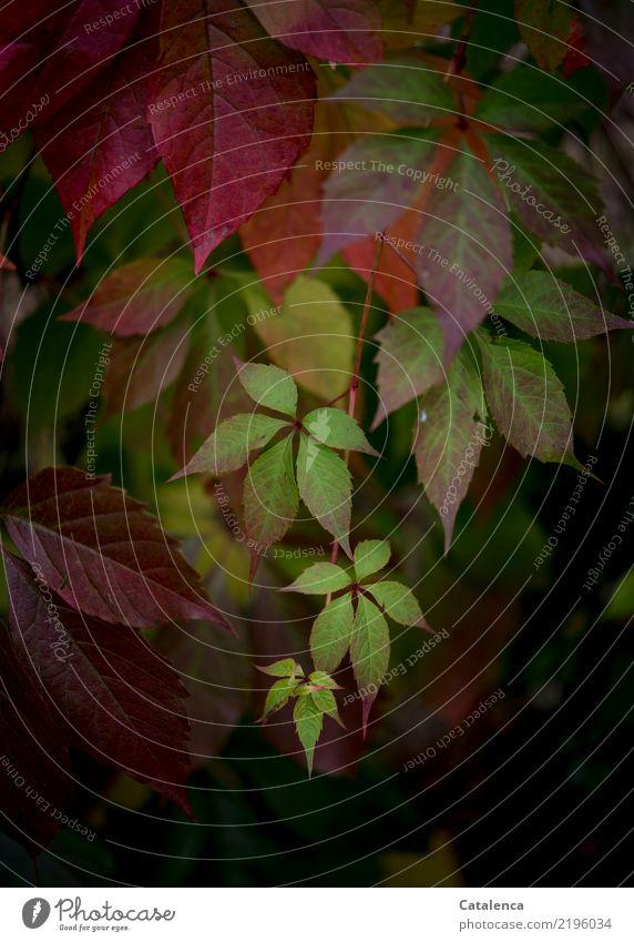 Wilde Weinrebe Natur Pflanze Herbst Blatt Kletterpflanzen Garten Wald hängen Wachstum ästhetisch braun gelb grün orange rosa rot Stimmung Invasiv Design Umwelt