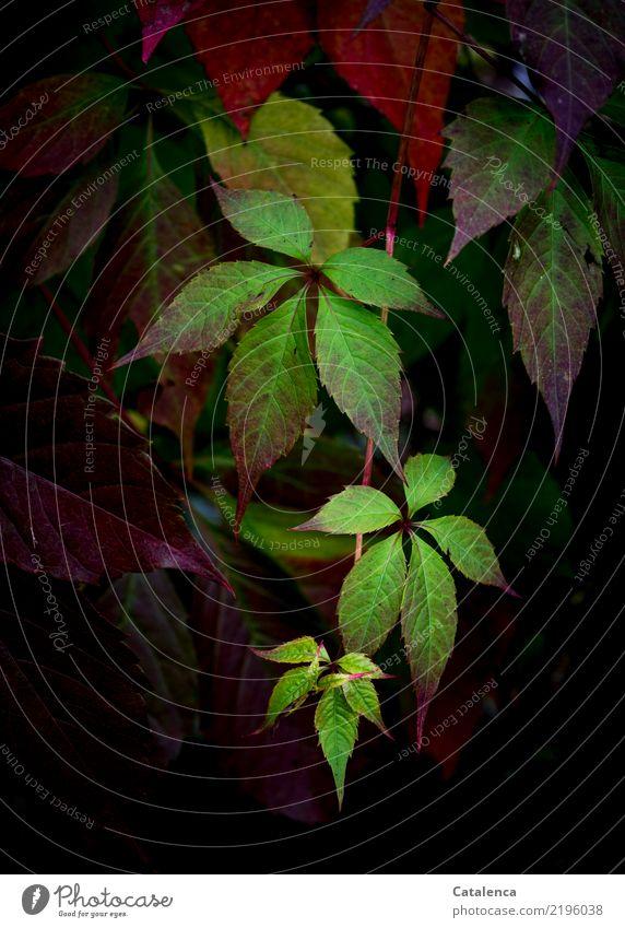Verfärben Natur Pflanze Herbst Blatt Kletterpflanzen Wilder Wein Garten dehydrieren Wachstum ästhetisch natürlich schön braun gelb grün orange rot schwarz