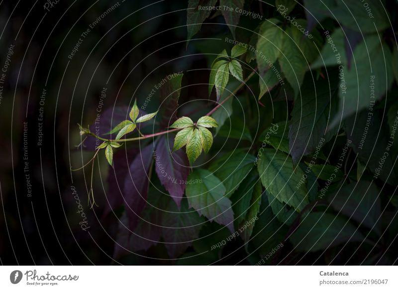 Wilder Wein II Natur Pflanze Herbst Blüte Kletterpflanzen Ranke Garten Wald hängen dehydrieren ästhetisch gelb grün violett schwarz Stimmung achtsam Leben