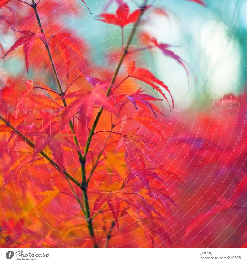 zwergahorn, bokehisiert Umwelt Natur Pflanze Herbst Baum Blatt Ahornblatt blau gelb rot weiß Unschärfe mehrfarbig Farbfoto Außenaufnahme Tag Detailaufnahme