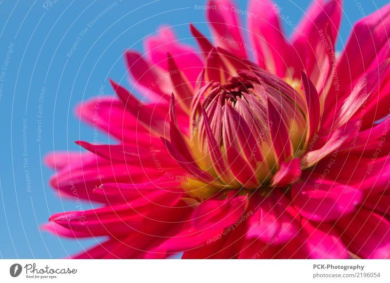 Dahlie Himmel Natur Pflanze rot Umwelt Blüte Garten rosa orange Park ästhetisch Blütenknospen Blütenblatt