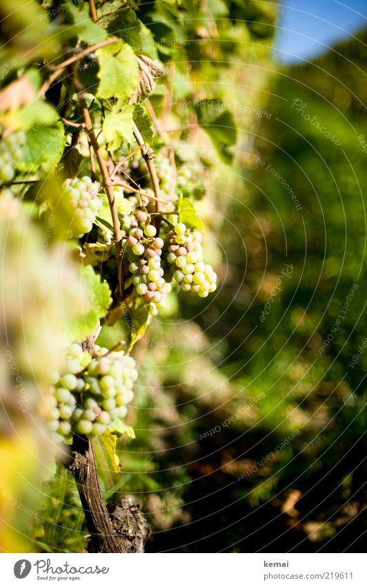 Vermutlich Spätlese Umwelt Natur Pflanze Sonnenlicht Herbst Schönes Wetter Wärme Blatt Grünpflanze Nutzpflanze Wein Weintrauben hängen Wachstum grün Farbfoto