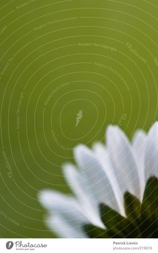 grüne Aussichten Natur schön weiß Blume Pflanze Frühling Umwelt frisch natürlich Blühend Gänseblümchen Blütenblatt Makroaufnahme Wildpflanze