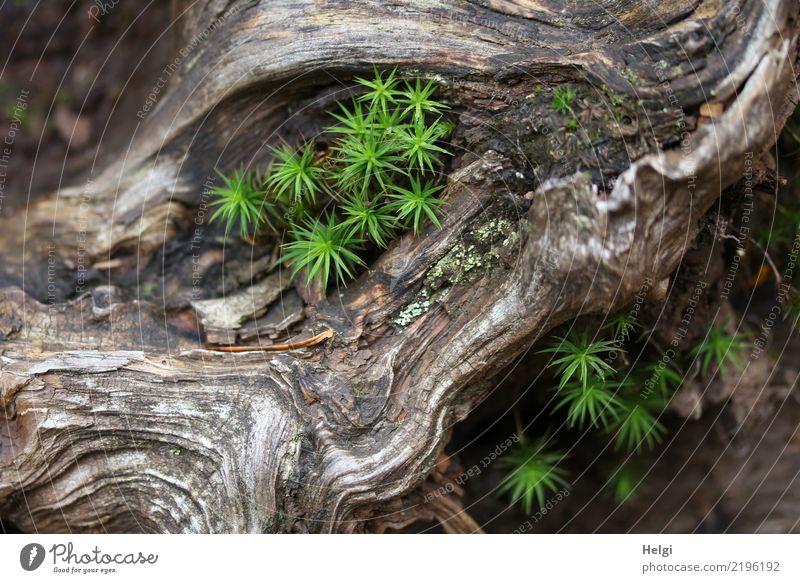 in einer alten knorrigen Wurzel wächst grünes Moos Umwelt Natur Pflanze Herbst Schönes Wetter Baumwurzel Wald Berge u. Gebirge Schwarzwald Holz liegen Wachstum
