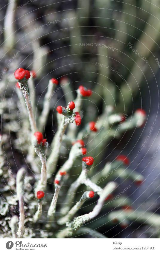 rotfrüchtige Säulenflechte Umwelt Natur Pflanze Herbst Schönes Wetter Wildpflanze Flechten Fruchtkörper Schlauchpilz Wald stehen Wachstum authentisch