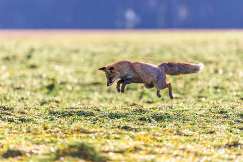 Maus! Natur grün Landschaft Tier Umwelt braun oben Textfreiraum springen wild Wildtier gefährlich Lebewesen Jagd Nationalpark Schwäche