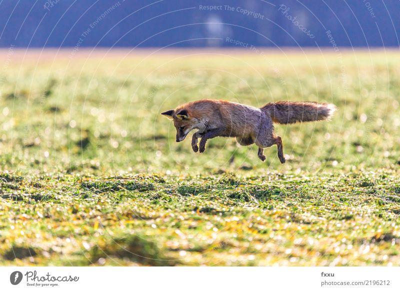 Maus! Umwelt Natur Landschaft Tier Wildtier 1 Fährte Weitsprung braun grün Fuchs springen Jagd Naturschutzgebiet Nationalpark Farbfoto Menschenleer Textfreiraum