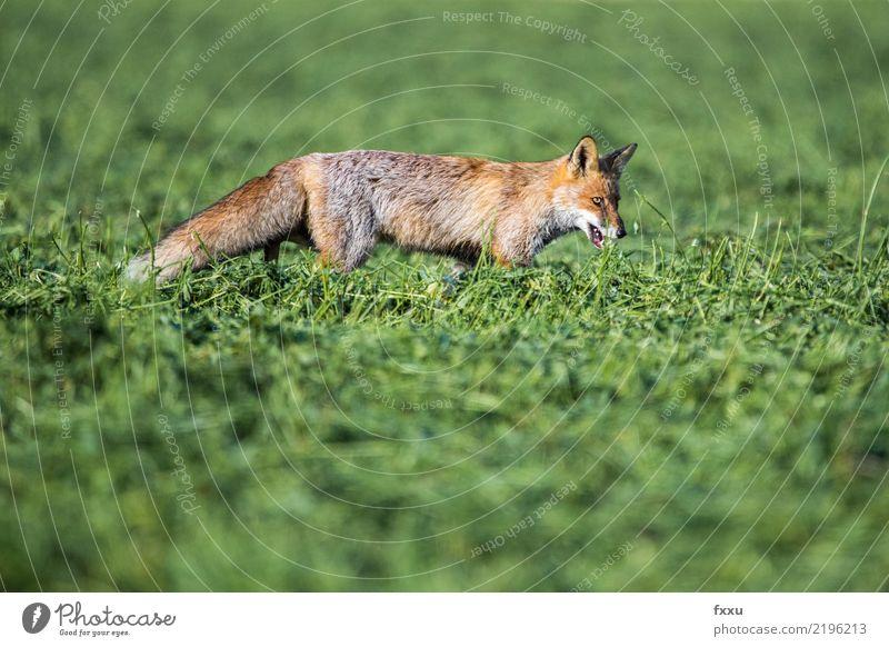 Fuchs Tier Natur Säugetier Wald Wildtier wild niedlich Tierporträt Wiese Feld Nahaufnahme Lebensmittel orange Außenaufnahme Landraubtier Maus Hinterbein Fahne