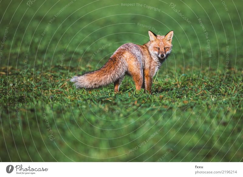 Fuchs Natur grün Landschaft Tier Umwelt braun oben Textfreiraum wild Wildtier gefährlich Lebewesen Jagd Schwäche Naturschutzgebiet Jäger