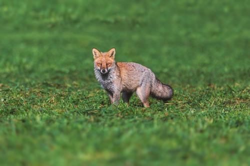 Fuchs Umwelt Natur Landschaft Tier Wildtier 1 braun grün Jagd Naturschutzgebiet Farbfoto Menschenleer Textfreiraum oben Tag Schwäche Tierporträt