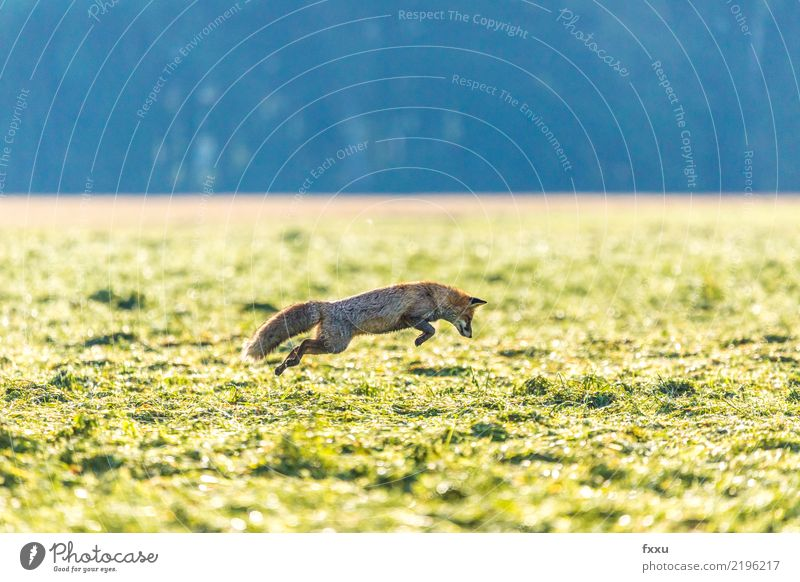 Fang die Maus Umwelt Natur Landschaft Tier Wildtier 1 Fährte grün Fuchs springen Jagd Naturschutzgebiet Nationalpark Farbfoto Menschenleer Textfreiraum oben Tag